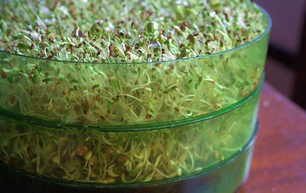Langkah-langkah menanam biji kacang hijau