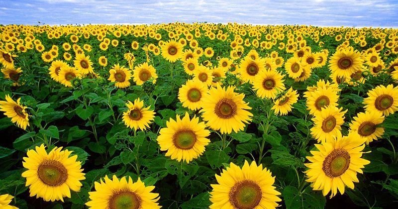 11. Bunga matahari