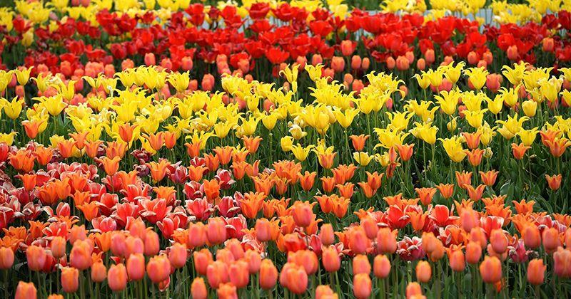 18. Bunga tulip