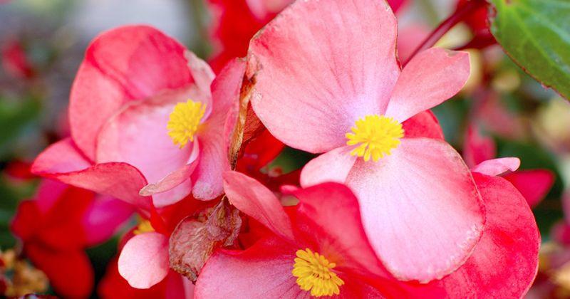 19. Bunga begonia