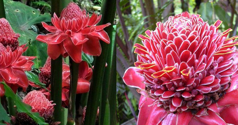 3. Bunga kecombrang