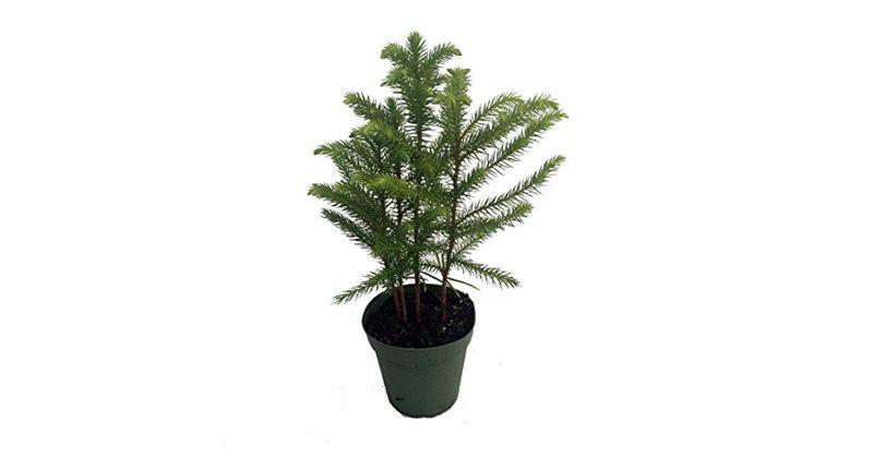 1. Seperti pinus, Norfolk Island Pine bisa jadi pilihan