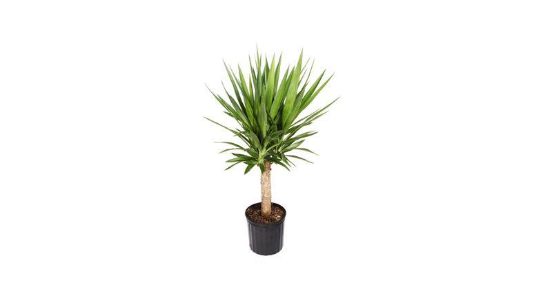 2. Yucca pu bentuk unik