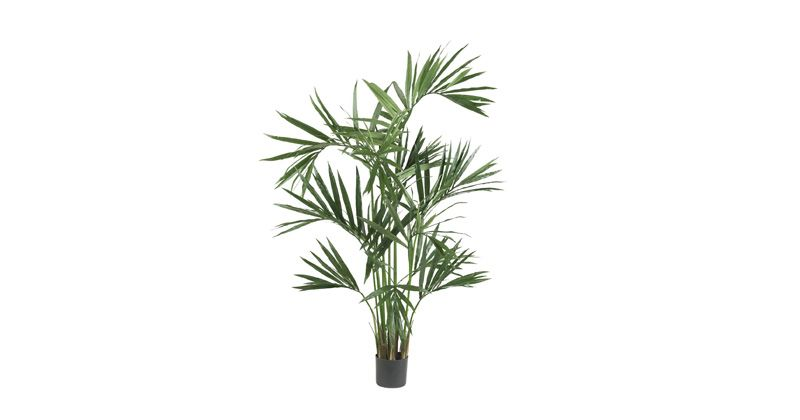 3. Kentia palm (Howea forsteriana) jadi tanaman hias kuat