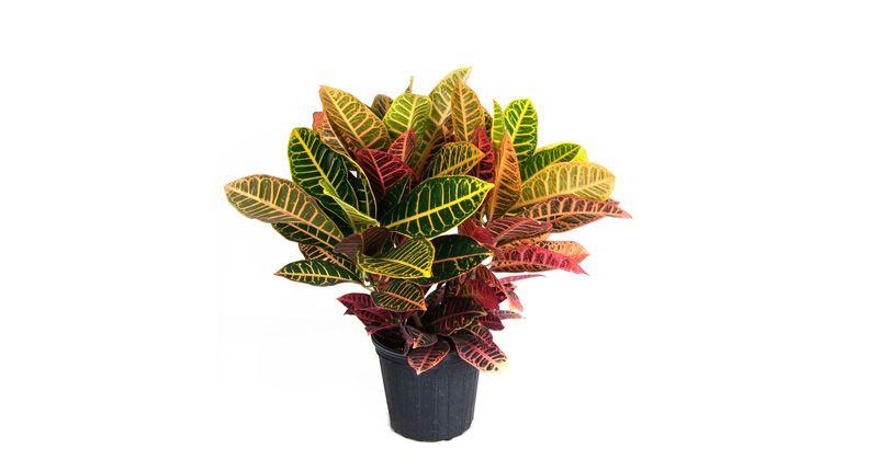6. Croton (Codiaeum) pu daun indah
