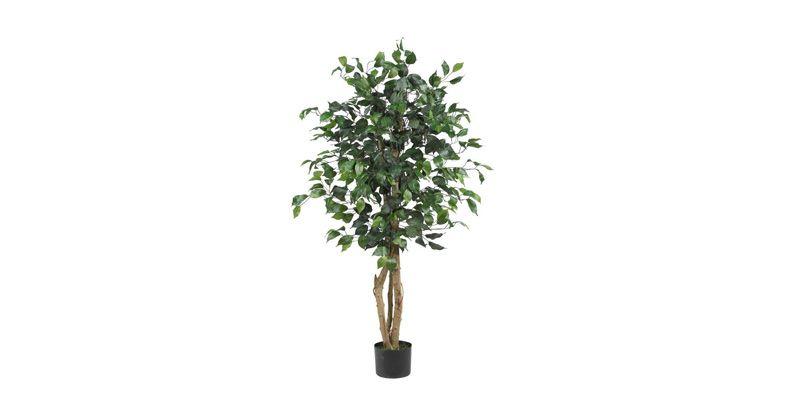 7. Ficus bisa hidup sangat lama