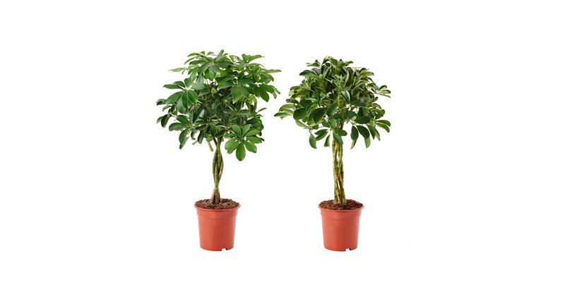 8. Schefflera (Pohon Payung) sangat mudah dirawat