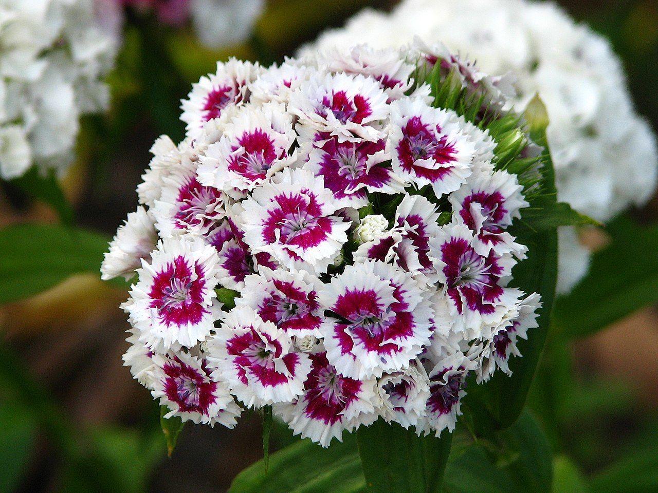 7. Dianthus Barbarus