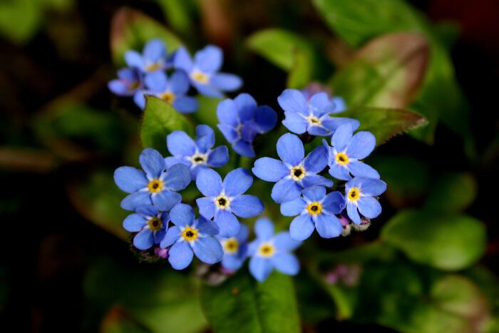 2. Forget-me-not Flower