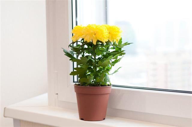 2. Chrysanthemum atau bunga krisan