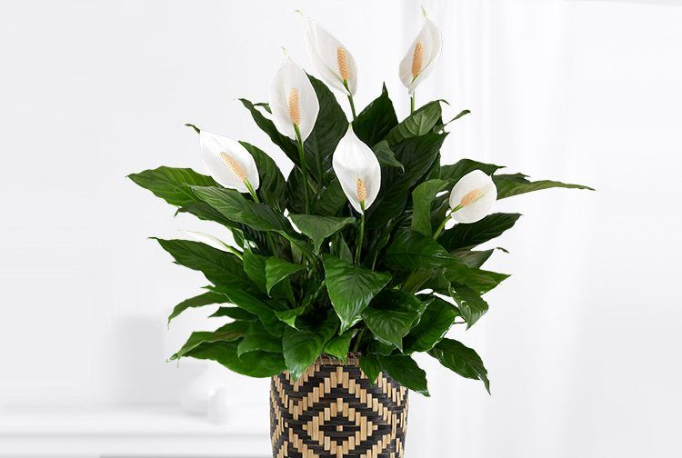 4. Peace lily