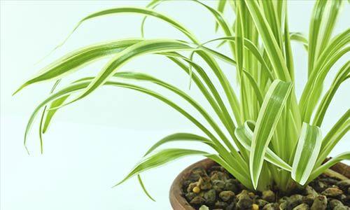 2. Spider plant