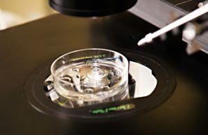 2. Pematangan oosit (sel telur dalam ovarium)