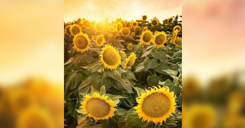 3. Pantai Samas Sunflower Garden