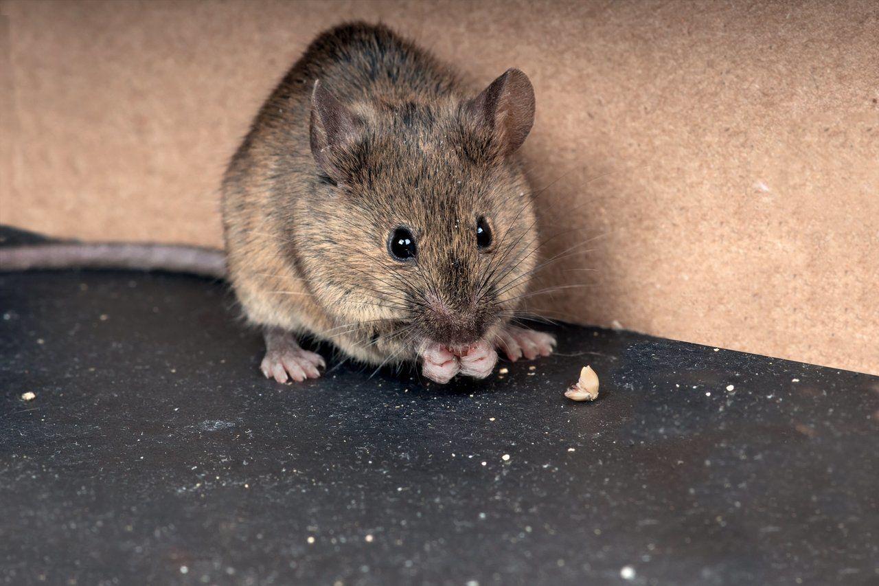 Cegah Hantavirus, Inilah Cara Mengusir Tikus Bahan Rumahan