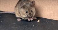 8 Cara Mengusir Tikus Bahan Bisa Kamu Temukan Rumah