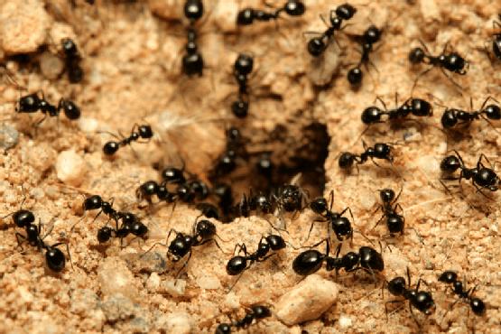 1. Pahami koloni semut ratunya