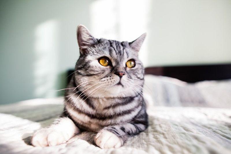 Risiko Penularan Toksoplasma Bukan Ha dari Kucing