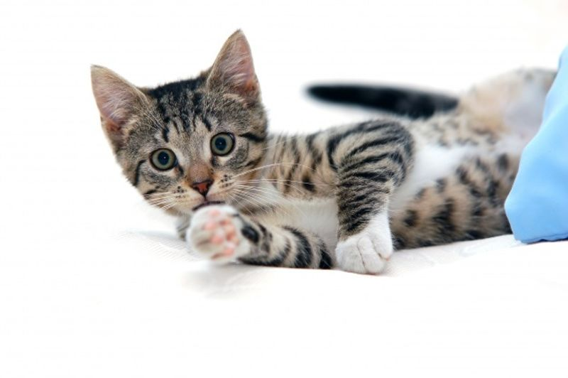 Sumber Penularan Toksoplasma Bukan Ha dari Kucing