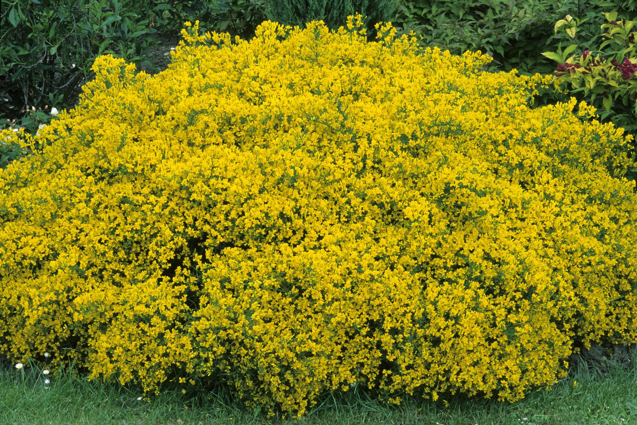 7. Lydian Broom