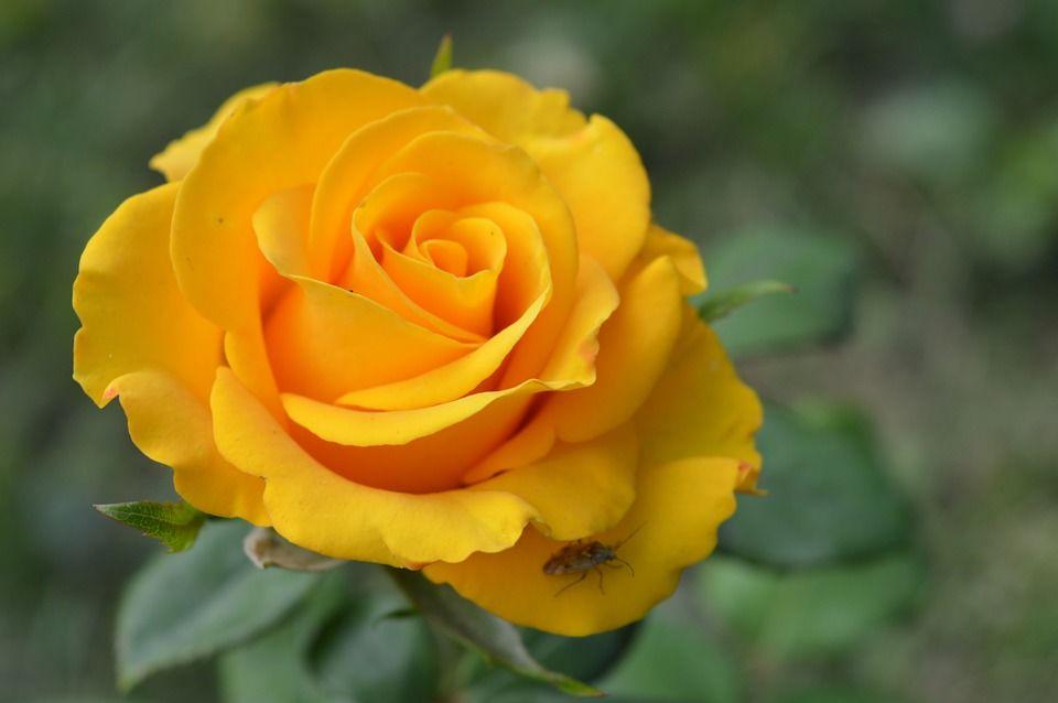 3. Mawar kuning