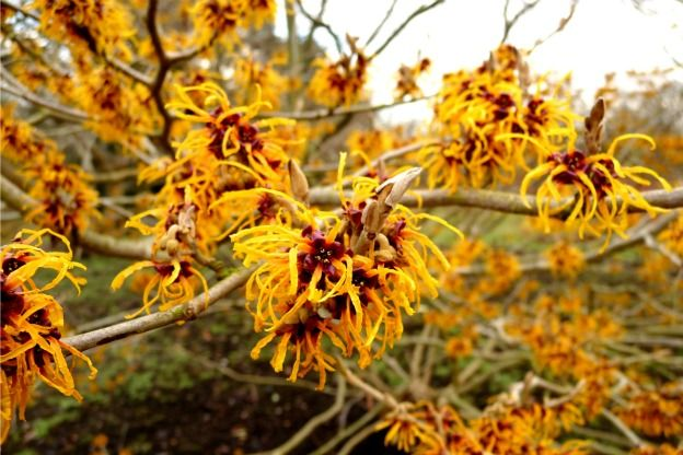 2. Witch Hazel