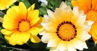 Buat Rumah Mama Lebih Cerah Tanaman Berwarna Kuning Ini
