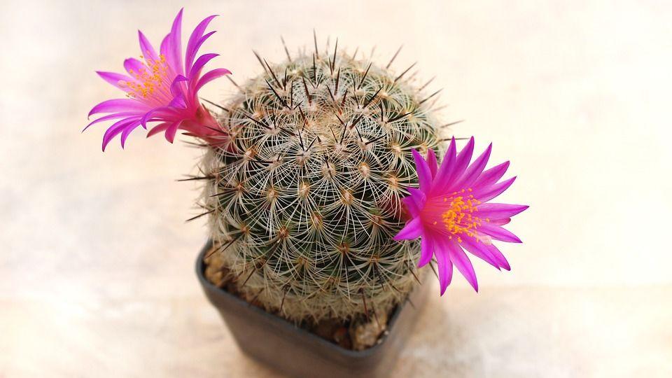 7. Kaktus bagus menetralisir udara ruangan kamar buat tidur lebih nyaman