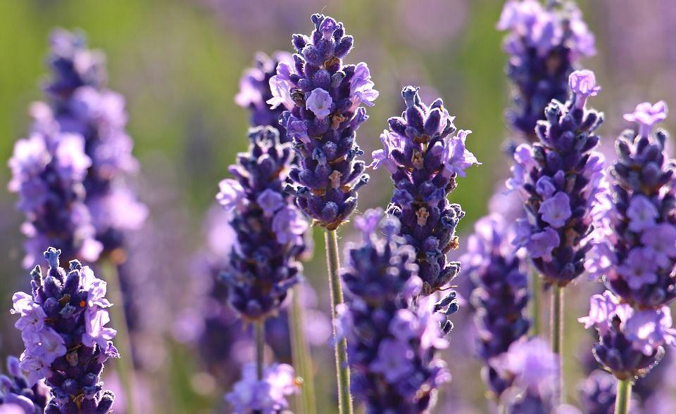 1. Lavender, si ungu aroma menenangkan