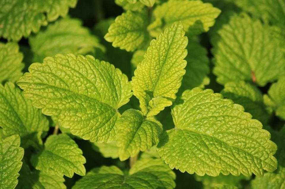 6. Lemon Balm bisa jadi obat penenang alami