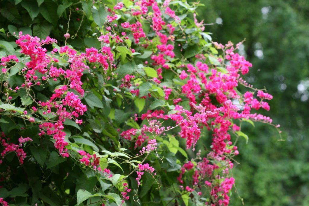 1. Bunga air mata pengantin jadi tanaman sangat indah