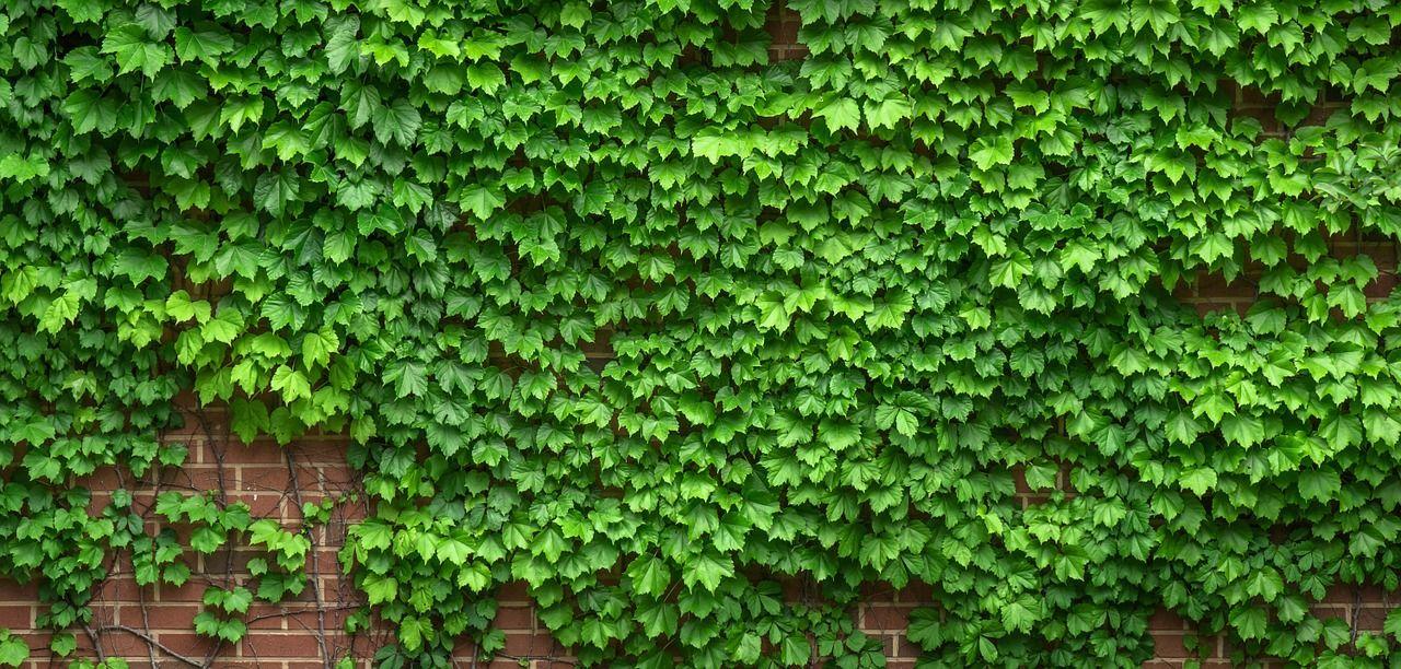 4. Ivy (Hedera helix) cocok tembok rumah halaman depan