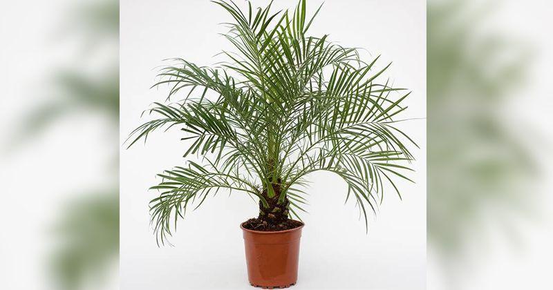 1. Dwarf date palm