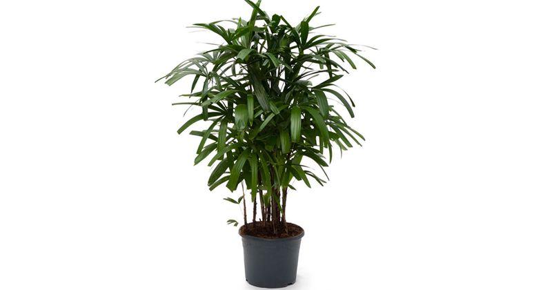 7. Broadleaf lady palm