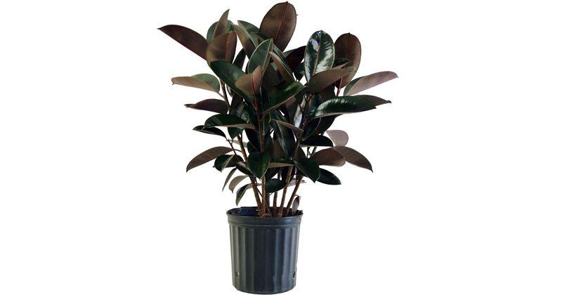 4. Rubber plant