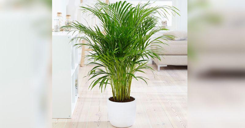 6. Palem menghilangkan karbondioksida ruangan