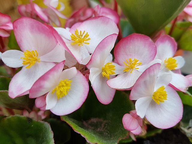 1. Begonia
