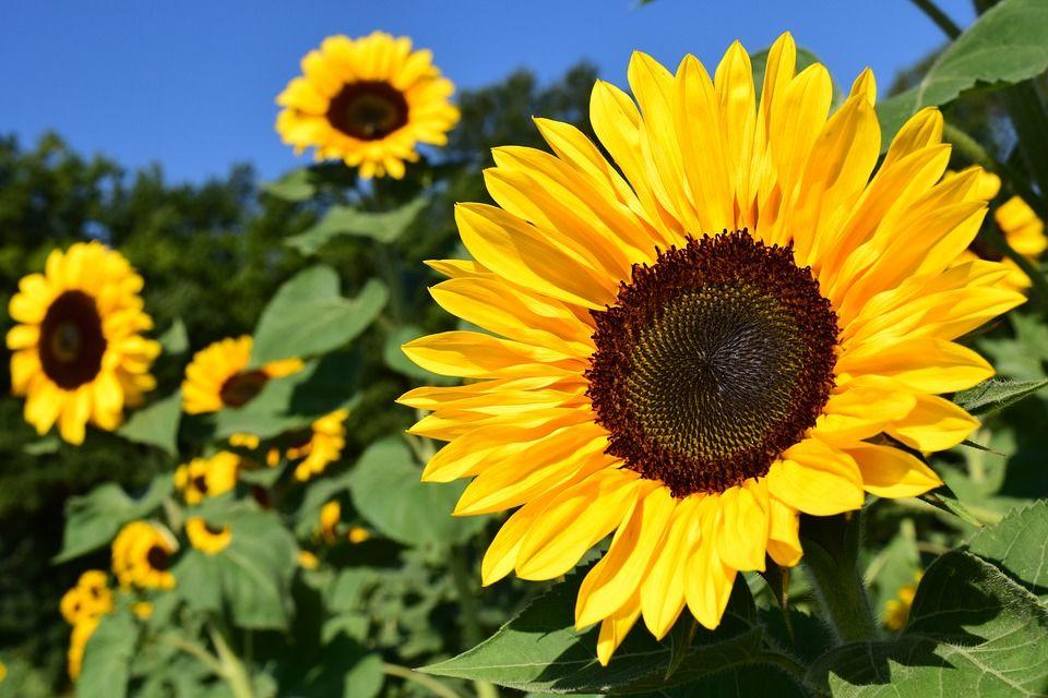 2. Sunflower seed oil menutrisi bibir agar tetap sehat saat menggunakan lip cream