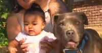 Hebat Pit Bull Menyelamatkan Seorang Bayi dari Kebakaran