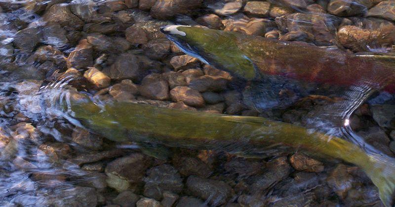 Ikan budidaya