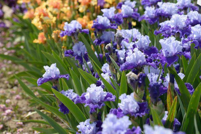 7. Bearded Iris