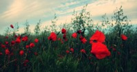 7 Jenis Bunga Cocok Ditanam Berdampingan Bunga Mawar