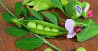 Manfaat Mengonsumsi Kacang Polong Bagi Kehamilan