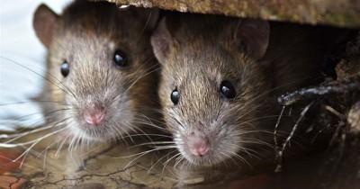 Ampuh Ini Dia Cara Usir Tikus Buah Bintaro