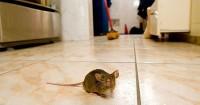 2. Letakkan buah bintaro area rumah sering dihampiri tikus