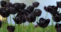 5. Queen of Night Tulip