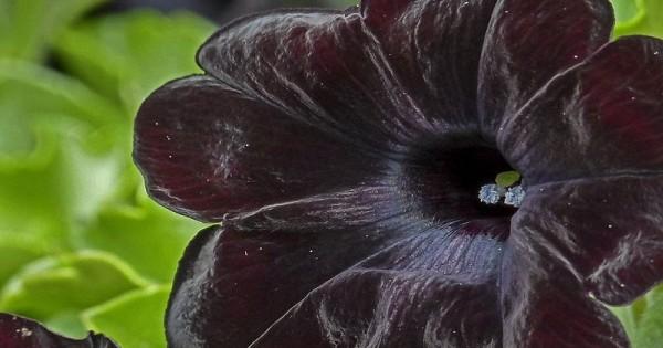 Berwarna Gelap 5 Bunga Ini Tetap Bisa Memperindah Taman Rumah