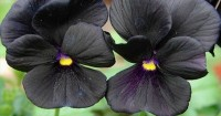 2. Black Beauty Pansy