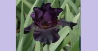 4. Old Black Magic Bearded Iris