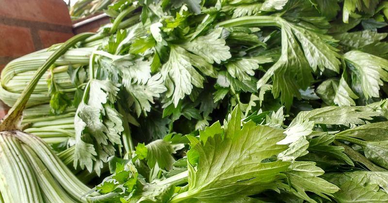 7. Seledri mengandung glikosida, apiol flavonoid